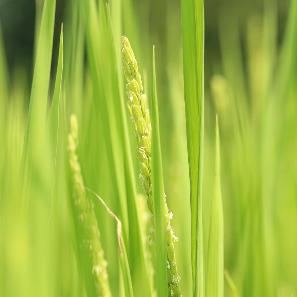 自社田での米造り